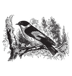 Collared flycatcher vintage vector