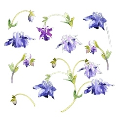 Collection of watercolor aquilegia flowers vector