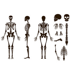Human bones skeleton structure elements set skull vector