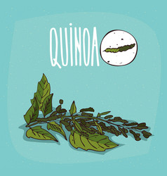 Set of isolated plant quinoa leaves herb vector