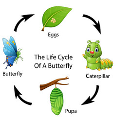 The life cycle of a butterfly vector