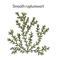 Smooth rupturewort herniaria glabra medicinal vector