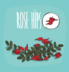 set of isolated plant rose hips fruits herb vector image