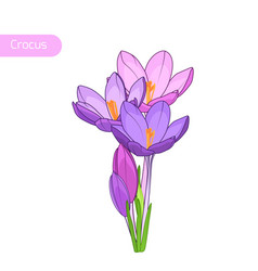 Crocus spring flowers inflorescence isolated vector
