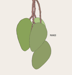 green ripe mango on tree sketch vector image