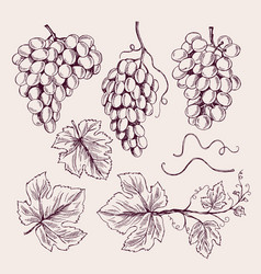 grape hand drawn vine leaves and branch tendrils vector image