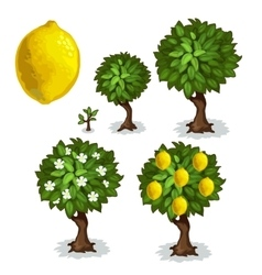 Planting and cultivation of lemon tree vector image