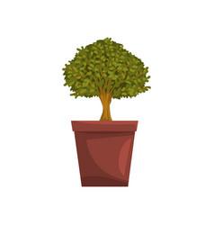 portulacaria indoor house bonsai tree in brown pot vector image