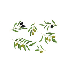 olive branches with green and black olives vector image