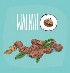 Set of isolated plant walnut nuts herb vector
