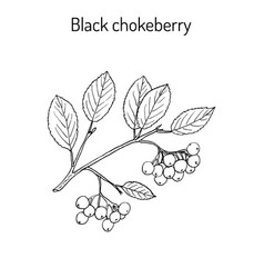 black chokeberry branch vector image vector image