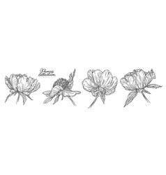 peony flowers set hand drawn in lines black and vector image