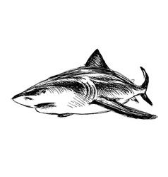 Hand sketch shark vector image vector image