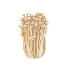 Raw isolated enoki mushrooms gold needle enokitaki vector