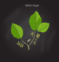 Branch of a witch hazel vector