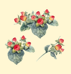 Watercolor hypericum berries vector
