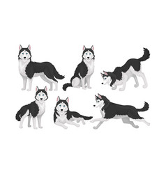 Husky in different poses isolated on white vector