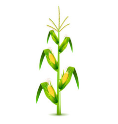 growing corn plant isolated on white vector image vector image