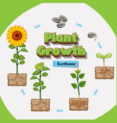 Diagram showing how plants grow from seed vector