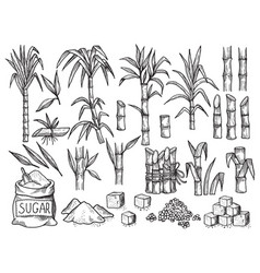 sugar plant agriculture production sugarcane vector image