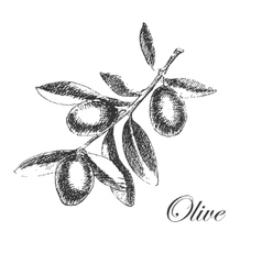 hand drawn olive branch detailed sketch vector image