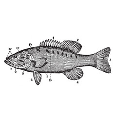 Small mouthed black bass vintage vector