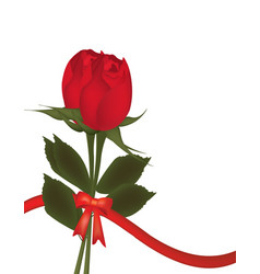 two roses on white background with bow vector image