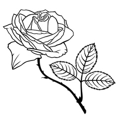 rose beauty vector image