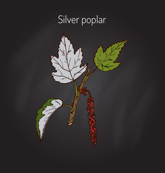 Silver poplar tree vector