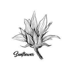 sunflower hand drawn ink pen vector image