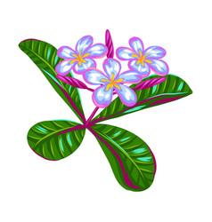 tropical plumeria flower vector image