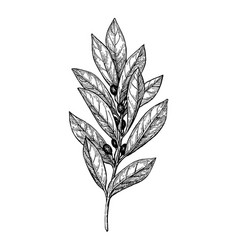 Bay laurel ink sketch vector