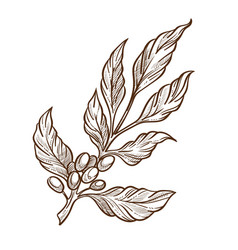 Raw coffee beans on branch isolated sketch grains vector
