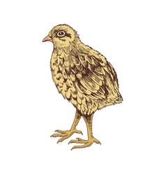 hand drawn baby quail vector image