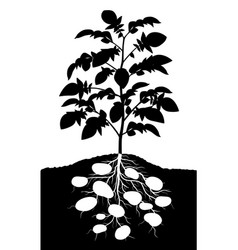 potato plant vector image