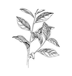 hand drawn tea plant branch vector image