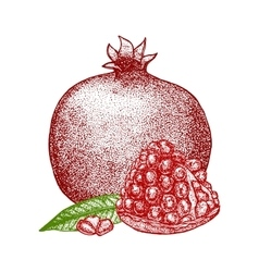 Pomegranate Hand Draw Sketch vector image