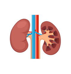 kidney renal flat realistic icon human kidney vector image