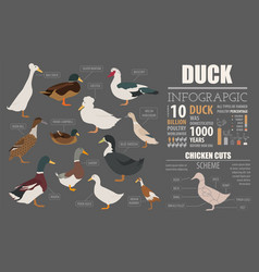 Poultry farming infographic template duck vector