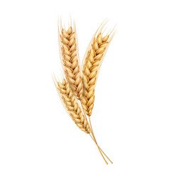 wheat ears spikelets realistic with grains vector image