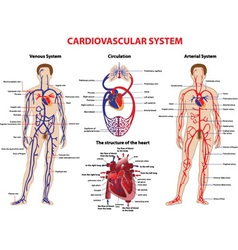 Cardiovascular system vector image vector image