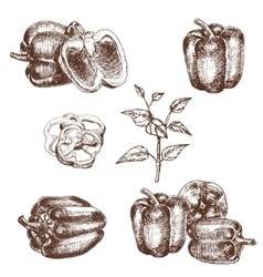 Hand drawn set of bell peppers vector image
