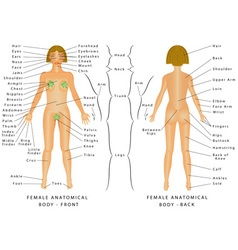 Regions of Female Body vector image vector image