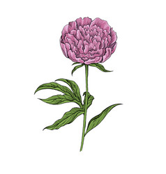 peony flower on white background vector image
