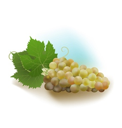 grapes white vector image