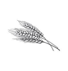 hand drawn wheat realistic wheat ear black vector image