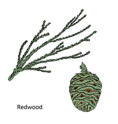 Colorful drawing redwood or sequoia concept vector