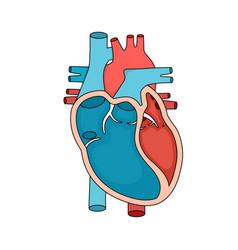 Heart anatomy close-up human cross section vector