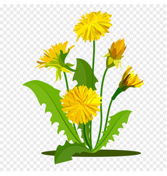 dandelions with green leaves summer yellow meadow vector image