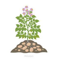 Potatoes plant spud plants with roots in soil vector
